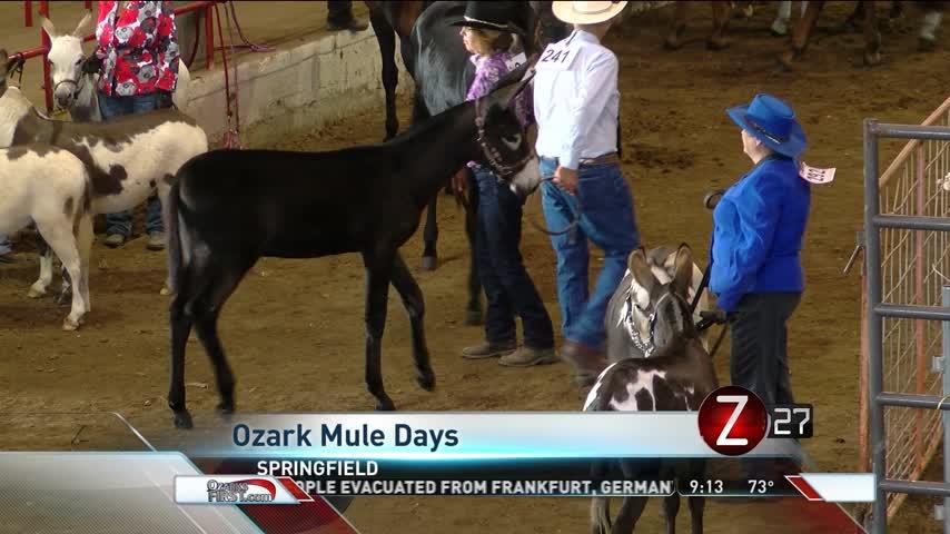 Donkeys Star at Ozark Mule Days_78086801