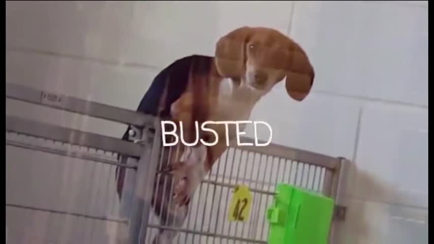 Beagle Almost Climbs Out of Cage Waiting for Adoption_26804880