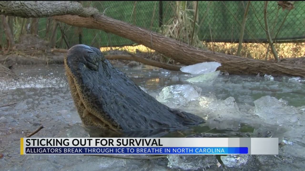 Alligators_Survive_Icy_Swamp_Conditions__0_20180111000439