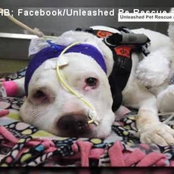 Pit_Bull_Shot_in_Head_Begins_Movement_Ag_0_20180506204235