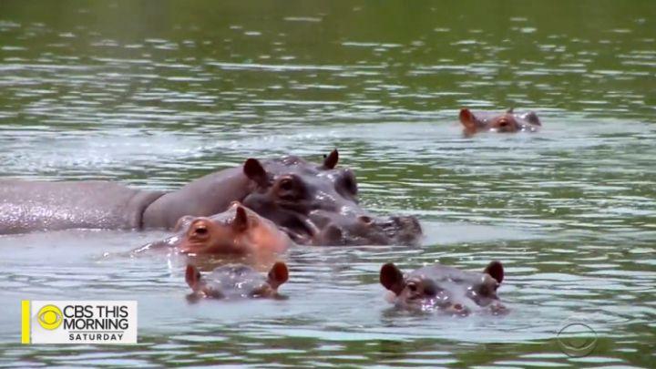 escobars hippos_1549814256537.jpg.jpg