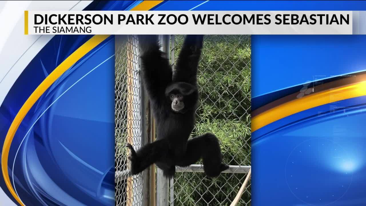 Zoo_introduces_new_siamang_4_20190425224342