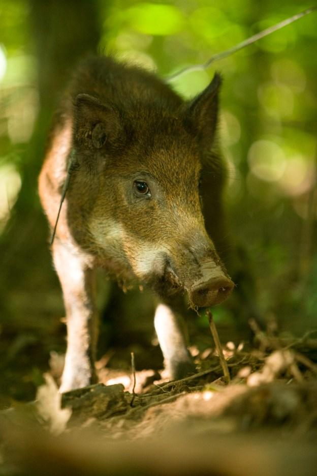 Feral Hog - photograph Courtesy Missouri Department of Conservation