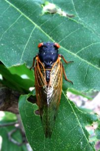 13 year periodic cicada