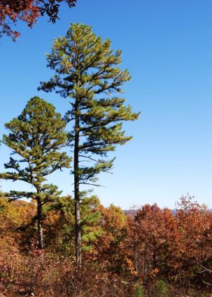 Lone Pines on the Glade Top Trail