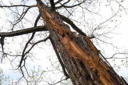 Surviving tree struck by lightning in 2011
