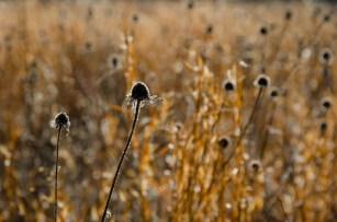 Thistles and Grasses
