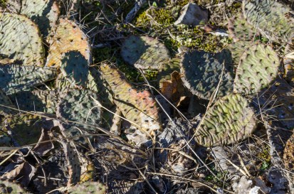 Photograph of Prickly Pear in winter