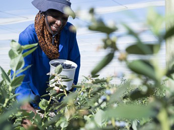 Sustainable farming is represented in OZblu's happy pickers