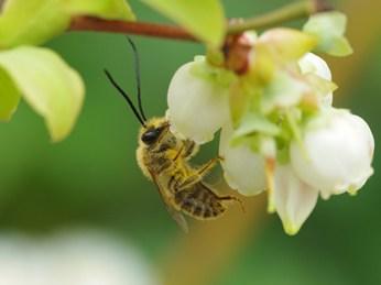 OZblu Blueberry Pollination embraces sustainable farming
