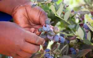 OZblu Harvesting Blueberries