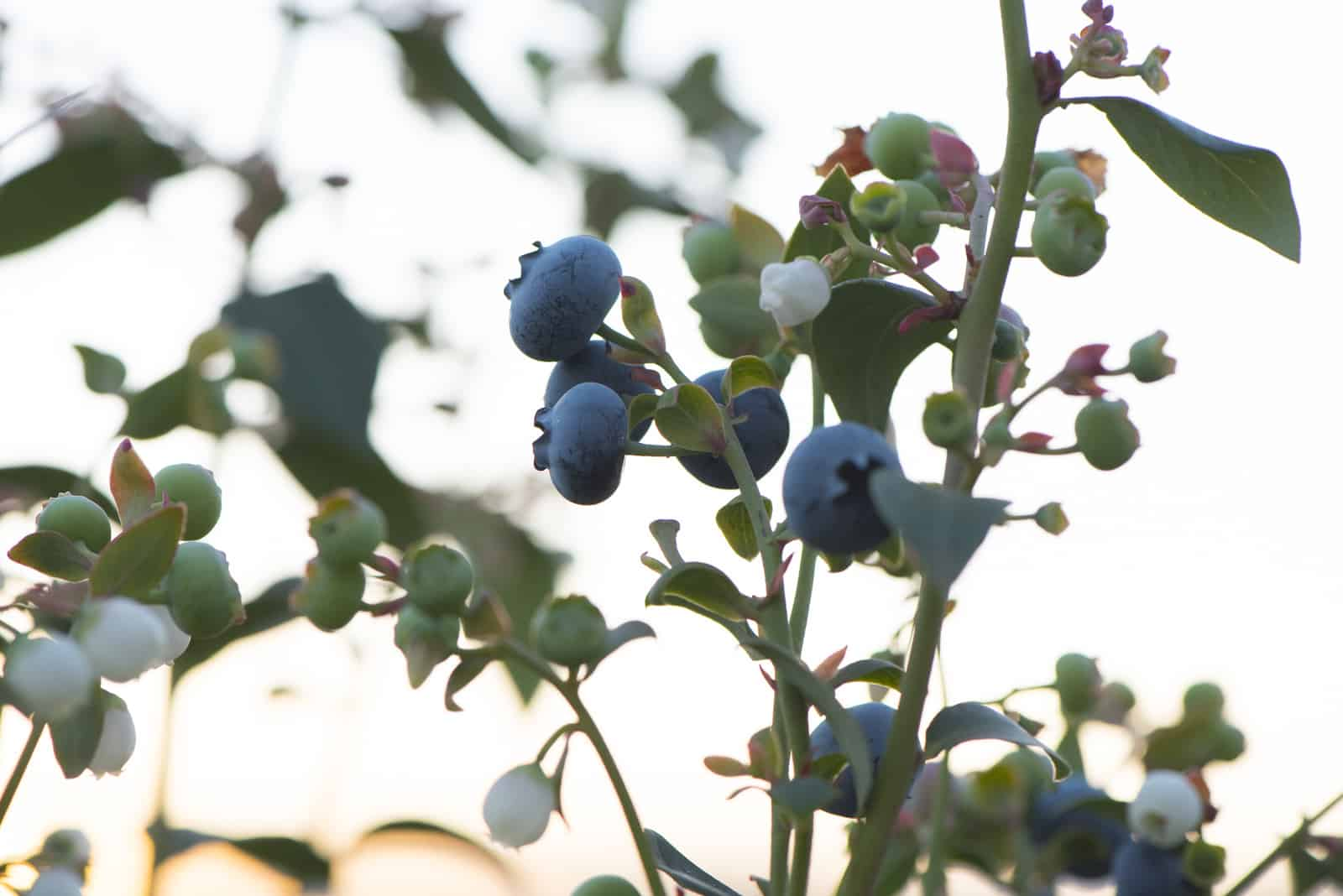 blueberry bush outside in front of setting sun