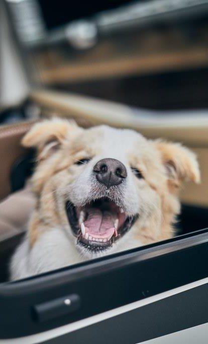 Lachender Hund