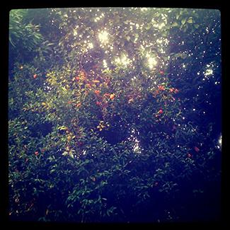 Mandarinas en el jardín