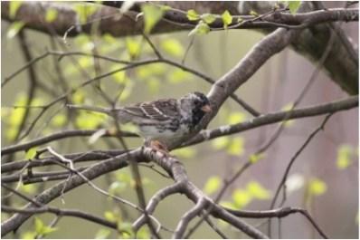 839-01-2012 Harris's Sparrow 04:17:2012 Howard, Centre Co., Alex Lamoreaux #1