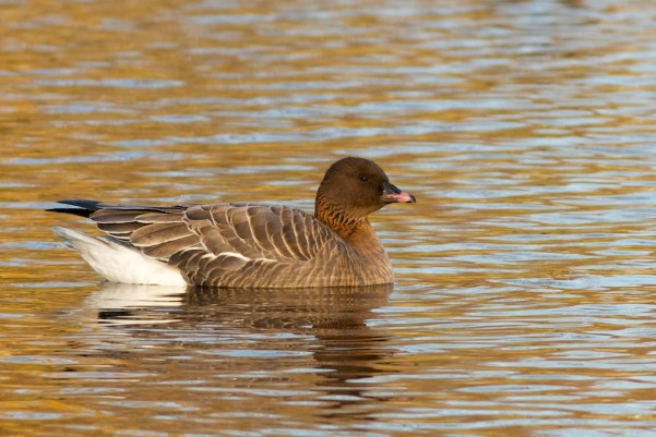Pink-footed Goose 2, 1-7-13 Tom Johnson