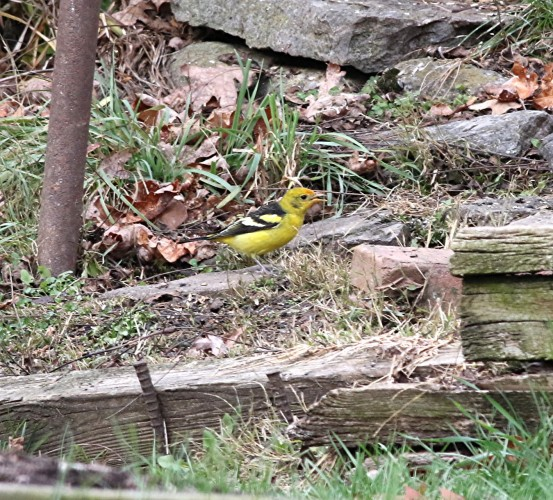 Western Tanager, State College, 11-29-2015, Mike Fialkovich (3)