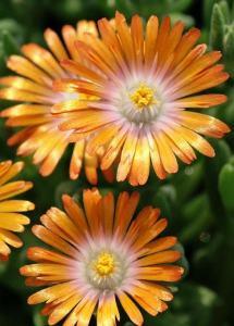 delosperma-perfect-orange