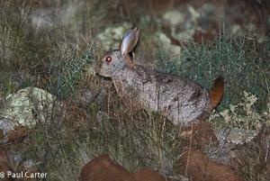 Hewitt's Red Rock Hare