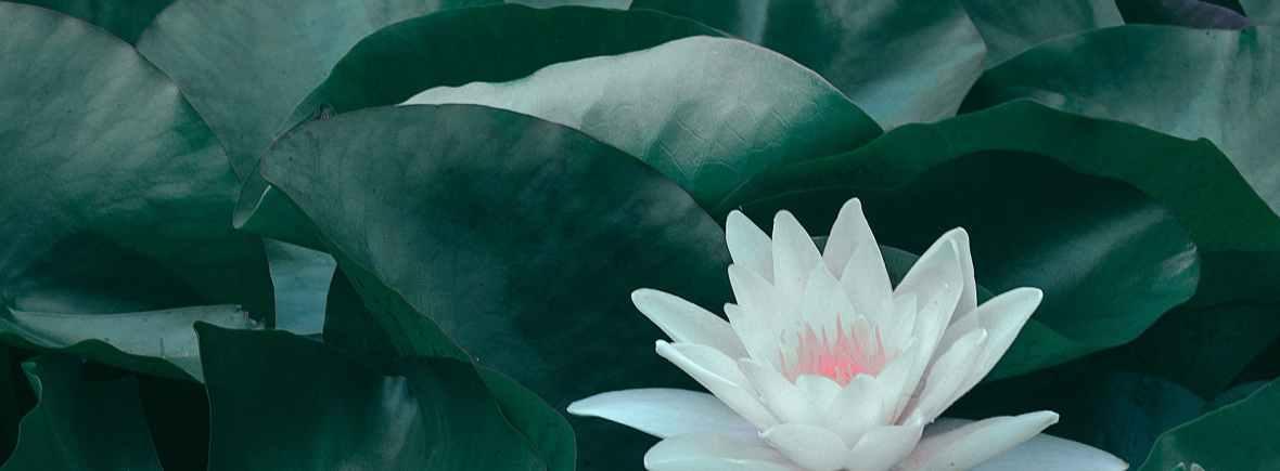 blooming lotus flower with green leaves