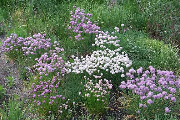 Pacific Bulb Society Chives