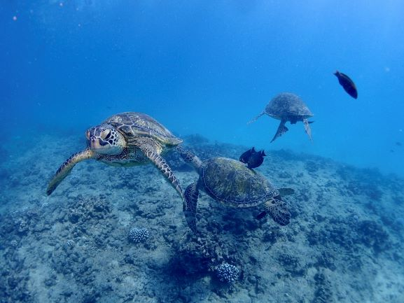 Green Sea Turtle - Oahu, Hawaii