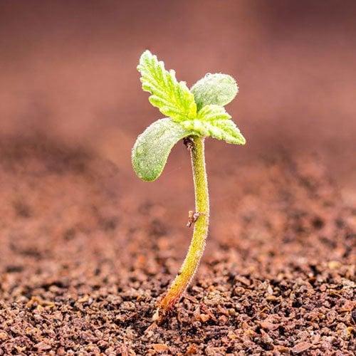 beginner cannabis grower