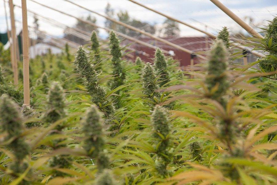 buy-cannabis-seeds-kettering