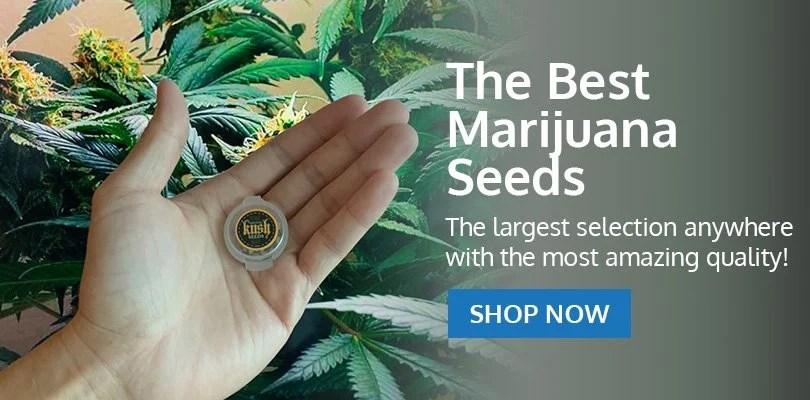 PSB-marijuana-seeds-kirkland-2
