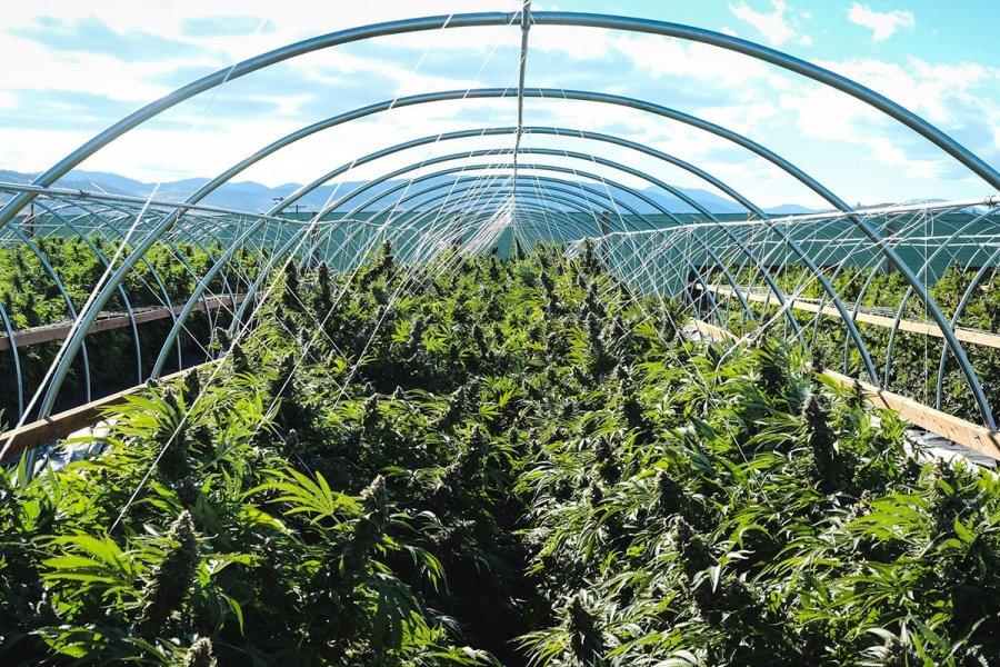 buy-marijuana-seeds-oxnard