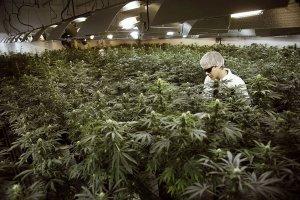 grow-marijuana-seeds-in-greenhouse-1