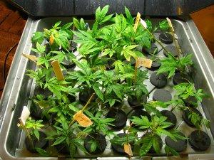 popular-ways-to-germinate-cannabis-seeds