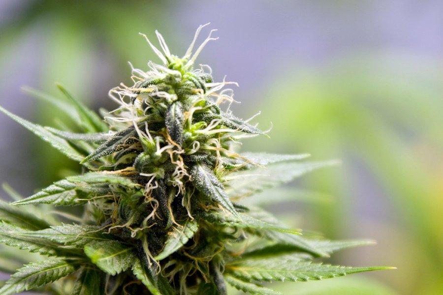 buy-marijuana-seeds-ann-arbor