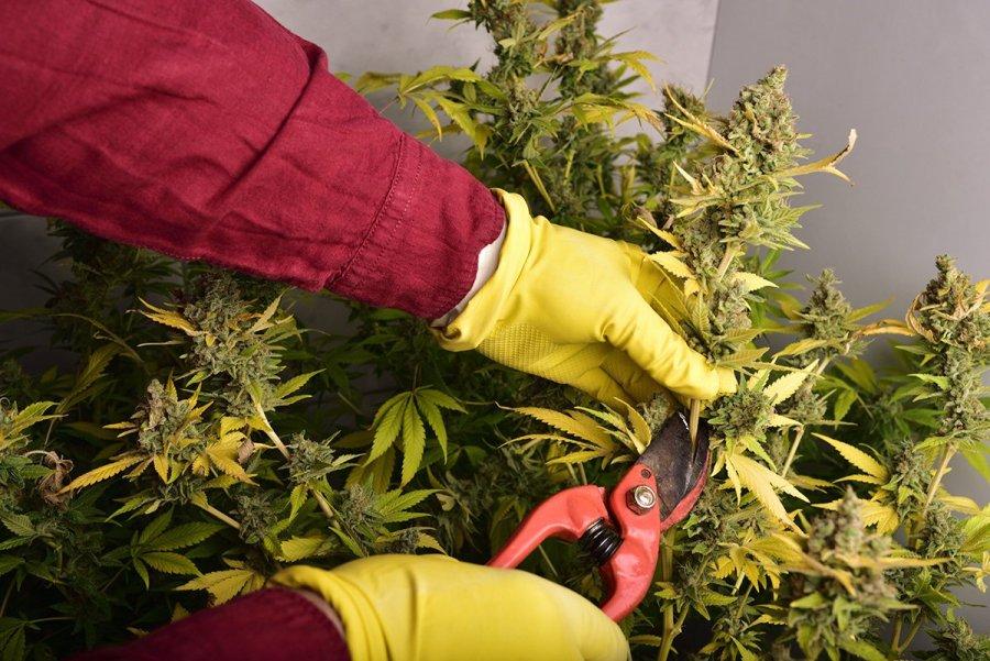 buy-marijuana-seeds-flint