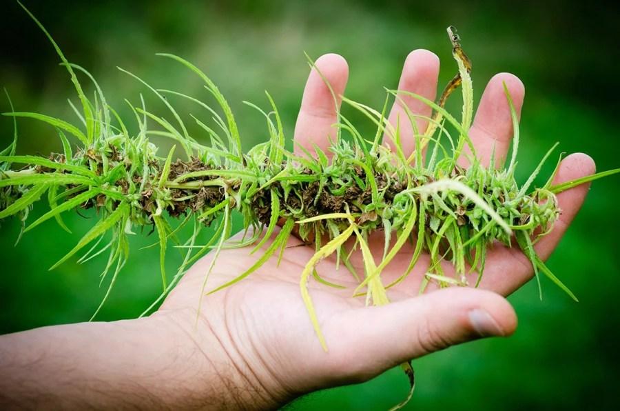 how-to-treat-marijuana-plants