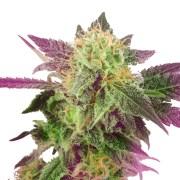 Buy-Aurora-Borealis-Autoflowering-Feminized-Marijuana-Seeds