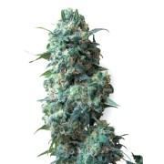Buy-Black-84-Feminized-Marijuana-Seeds