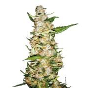 Buy-Iced-Widow-Feminized-Marijuana-Seeds