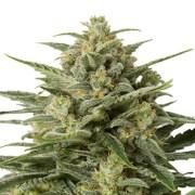 Buy-Afghan-Big-Bud-Feminized-Marijuana-Seeds