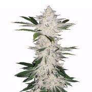 Buy-Alien-Bubba-Autoflowering-Feminized-Marijuana-Seeds