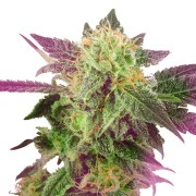 Blackberry-Rhino-Feminized-Marijuana-Seeds
