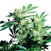 Buy-Eran-Almog-Autoflowering-Feminized-Marijuana-Seeds