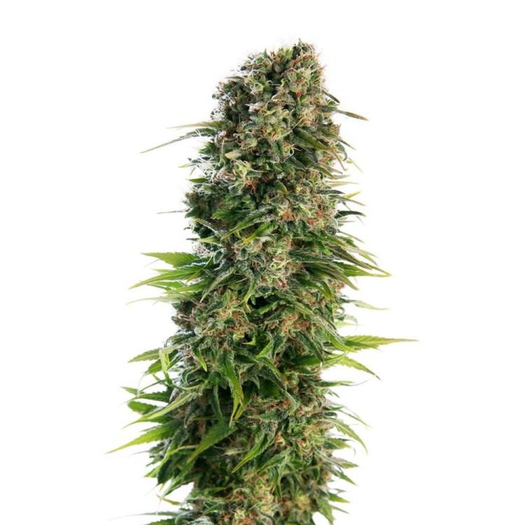 Buy-Digweed-Feminized-Marijuana-Seeds
