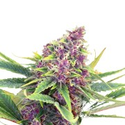 Buy-Grape-Cookies-Autoflowering-Feminized-Marijuana-Seeds