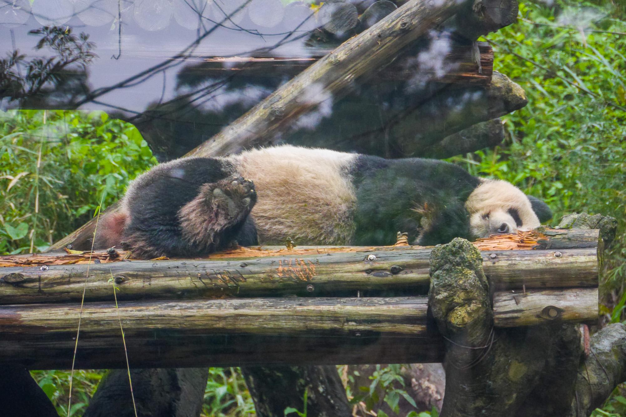Taipei Zoo Panda