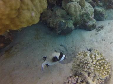 Masked Pufferfish