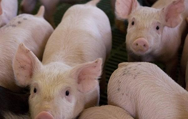 Alemania en alerta. Se registran cinco casos de peste porcina