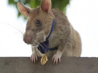 Ella es Magawa, la primera rata condecorada por su trabajo en la detección de minas antipersona
