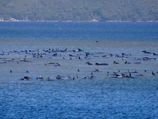 250 ballenas varadas al sur de Australia; intentarán rescate #VIDEO