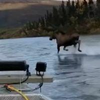 """Captan a Alce """"galopando"""" encima de un río en Alaska #VIDEO"""